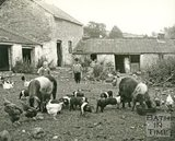 A rural scene with pigs and chickens at Charlcombe Farm, Charlcombe, near Bath, c.1947
