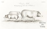Engraving Sow from Bath, the property of the Rev. R. Walker