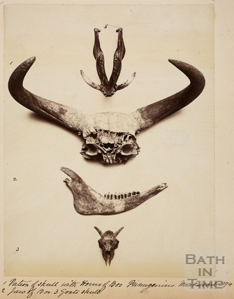 Jaws and sculls of animals found at Monkswood 1894