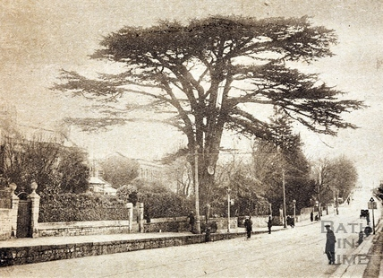The famous cedar tree at Lambridge, said to have been planted on the return of the Crusaders 1925