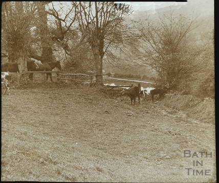 Grazing cows overlooking the Kennet and Avon Canal opposite Warleigh c.1905