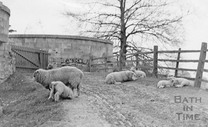 Sheep on track near Meadow Farm, Bathampton 1907