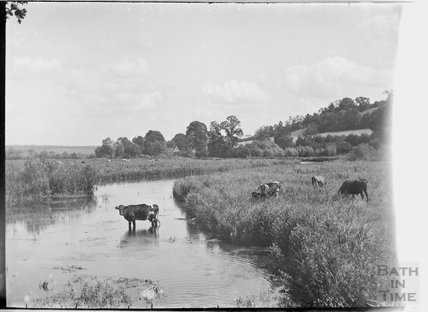 Rural view of cows in river, Ramsbury, near Marlborough, Wiltshire c.1930s