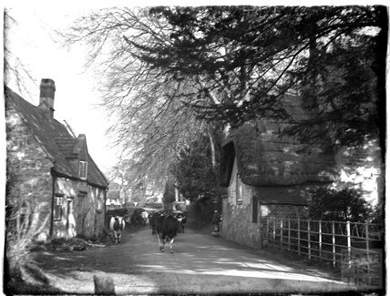 Cows in the street, Stockton near Wylye, Wiltshire, c.1920s