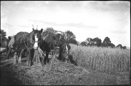 Harvesting in an unidentified location, c.1900s