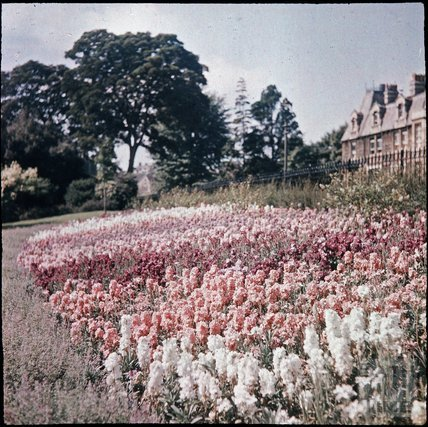 Hyacinths at Blackmore & Langdons, Twerton Hill Nursery, Bath c.1937?