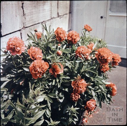 Peonies in the garden of the photographer in Shakespeare Avenue, Bath, 1955