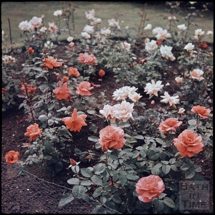 Roses in the garden of the photographer in Shakespeare Avenue, Bath, 1955