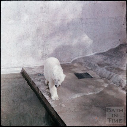 Polar Bear at Bristol Zoo, Clifton, Bristol, 1937?