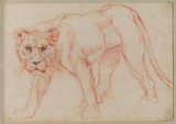 Lioness prowling (recto)