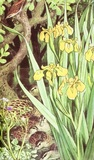 Yellow Iris and ducks in a river