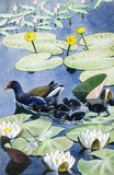 A moorhen and her young