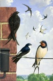 Swift, House Martin & Swallow