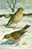 Song Thrush & Redwing