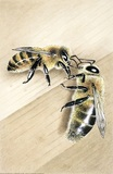 Male or drone bees