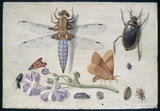 A Cockchafer, Beetle, Woodlice and other Insects, with a Sprig of Auricula