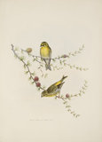 Serin Finch, on Larch Buds