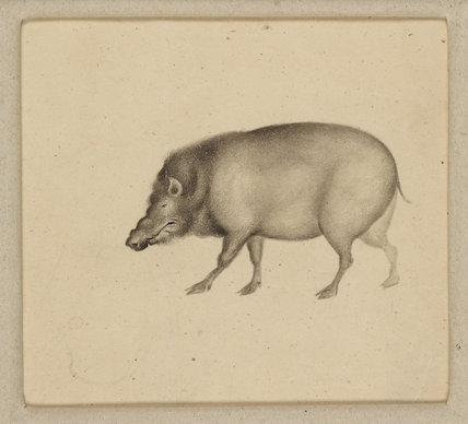 Drawing of a boar