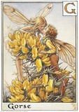 Gorse Fairies