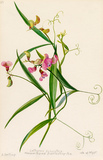 Lathyrus sylvestris, narrow-leaved everlasting pea.