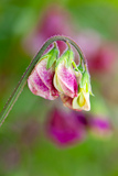 Sweet Pea 'Cappuccino Mix'