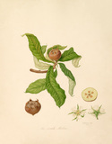 The Dutch Medlar