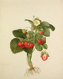 Strawberry 'Wilmot's Superb'