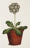 Bertle's Royal Sportsman; An Auricula