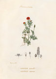 'Renonculacées. Adonis annuelle. Adonis annua'