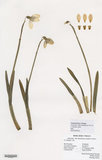 Herbarium specimen of Galanthus 'Mrs Backhouse No 12'