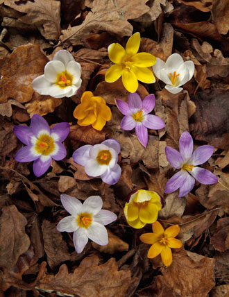 Crocus plant profile
