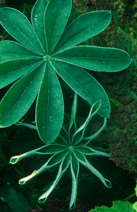 Lupinus leaves