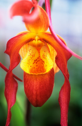 Phragmipedium 'China Dragon'