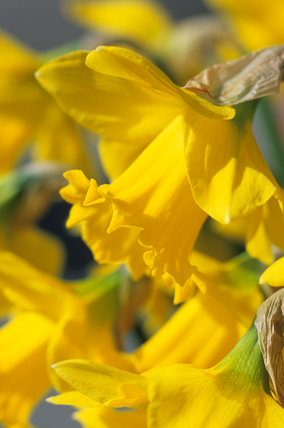 Narcissus 'Saint Patrick's Day'
