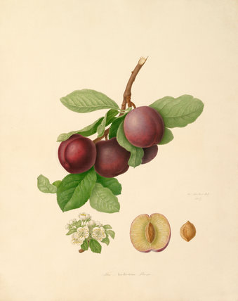 The Nectarine Plum