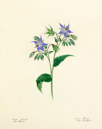 Borage officionalis
