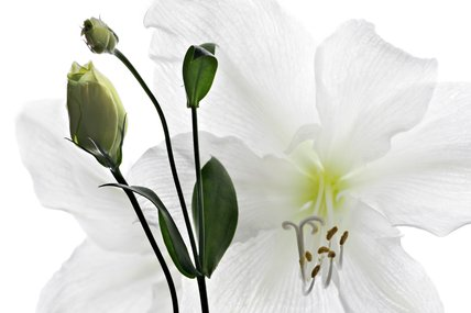 Eustoma grandiflorum and Hippeastrum hybrid