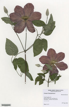 Herbarium specimen of Clematis '€˜Remembrance'