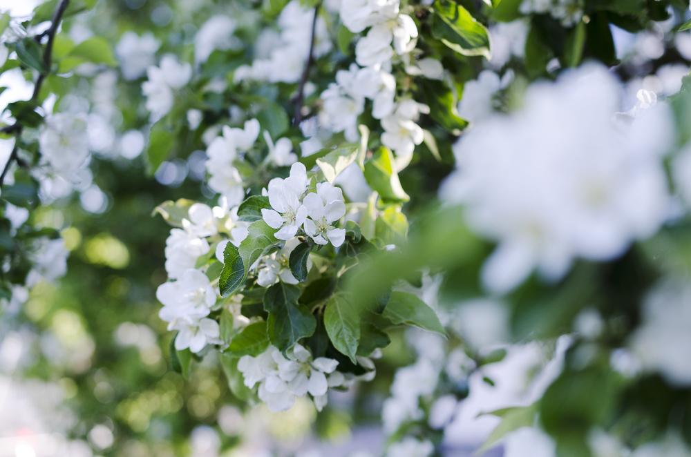 Omenankukka. Kuva: Minna Jerrman