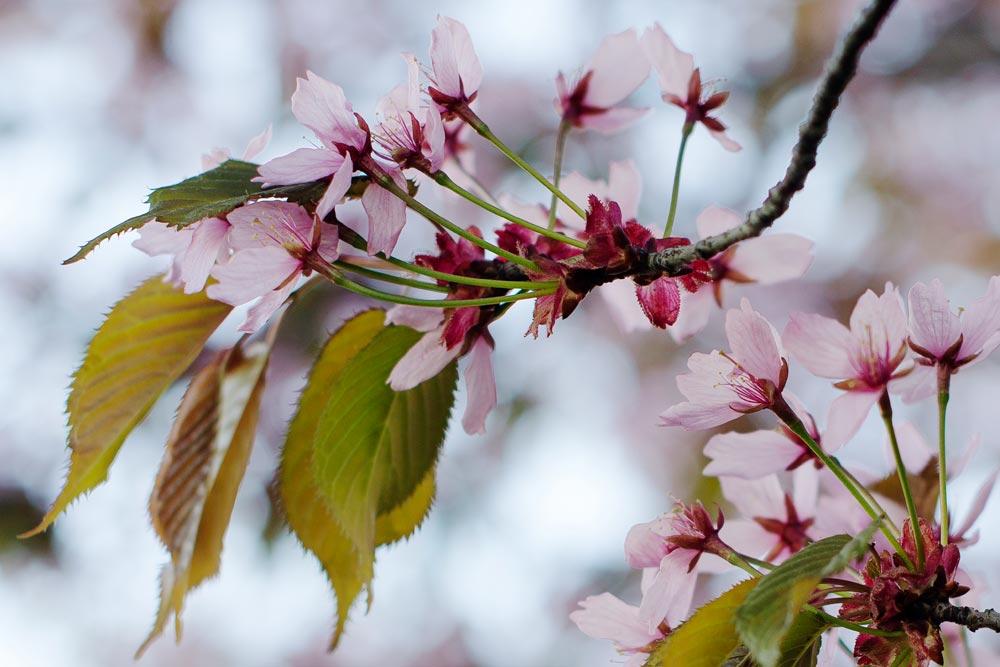 Minna Jerrman: Kirsikankukka