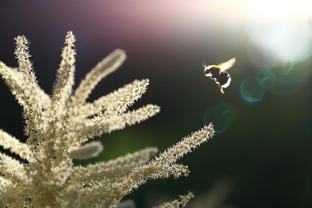 Esa Koivula: Kukka ja mehiläinen