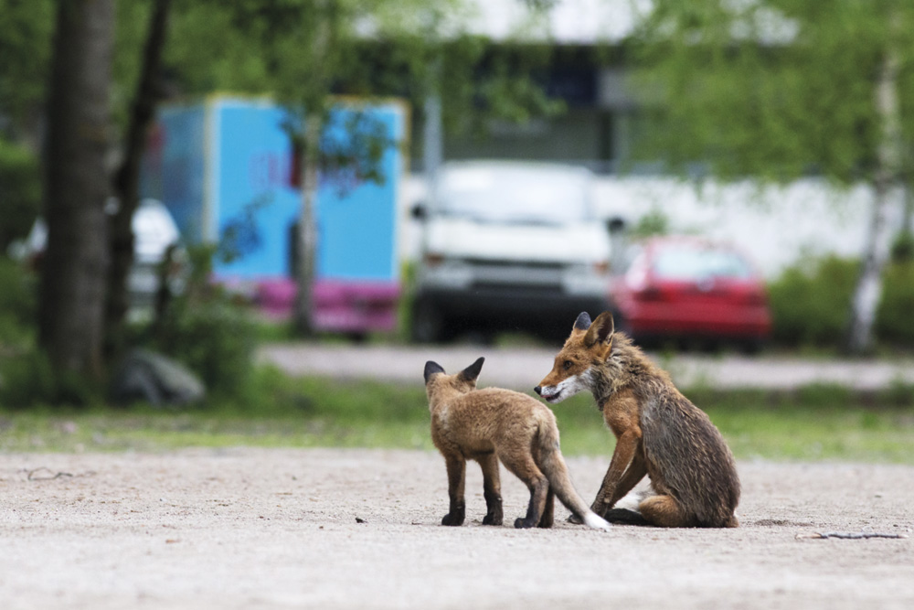 Emo ja poikanen seisovat parkkialueella Helsingissä. 300 mm, 1/320 s., f/5,6, ISO 4000. Kuva: Antti Koli
