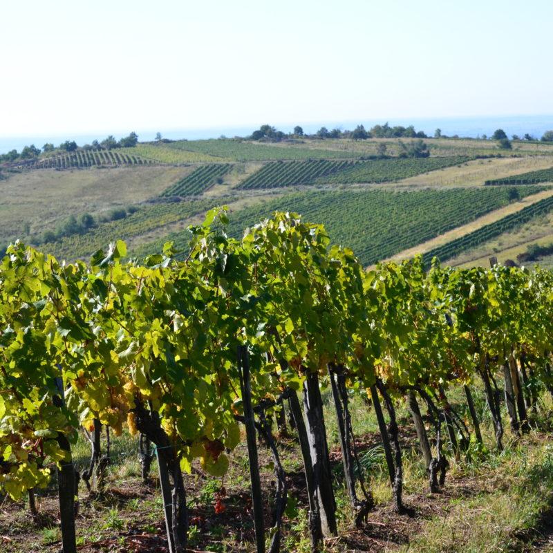 Tokaj Landscape St Benedek Vineyard