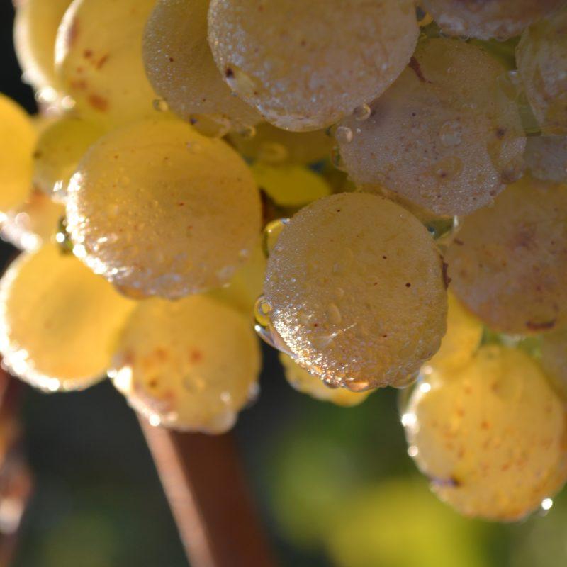 Grapes Furmint For Wines