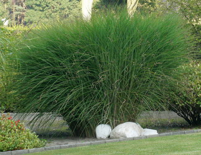 miscanthus sinensis 39 gracillimus 39 grassen prachtriet. Black Bedroom Furniture Sets. Home Design Ideas