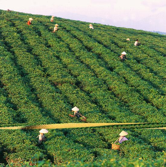Tuyen-quang-plantación