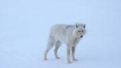 Masser af ulve