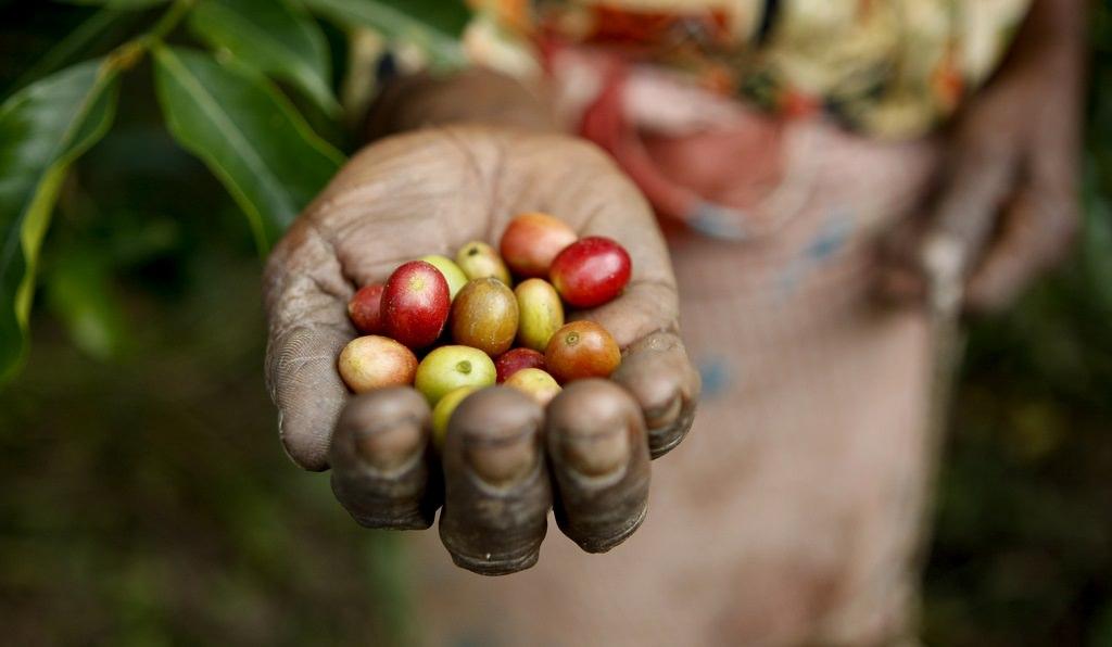 Kahve toplama