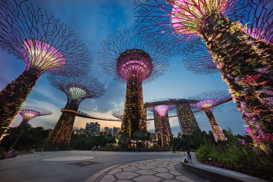 Singapur ağaç