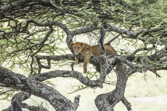 Serengeti Lioness in tree